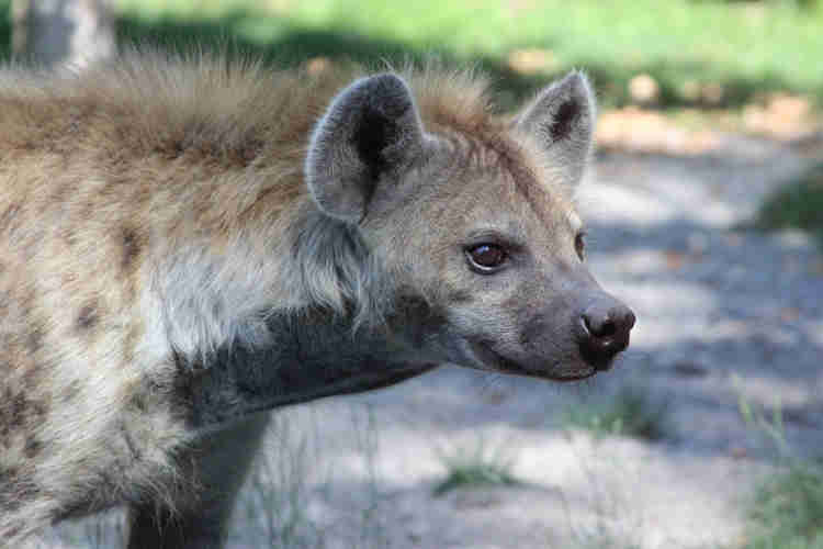 , Panic In Imo As Giant Hyena Escapes From Zoo, NAIJAPARRY